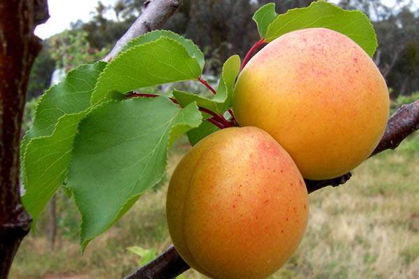 Плоды абрикоса сорта Лель