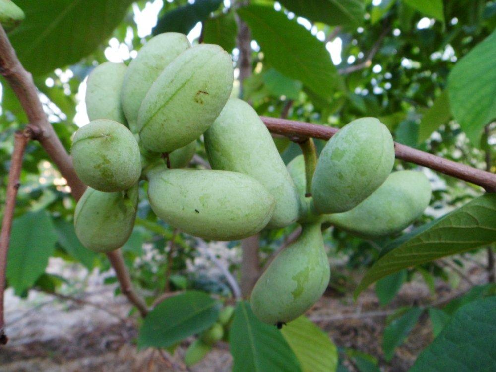 Плоды фрукта Азимины трехлопастной