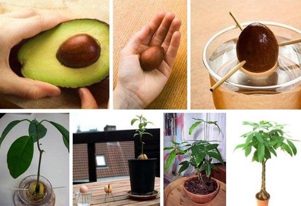Посадка, проращивание, уход, полив авокадо из косточки своими руками