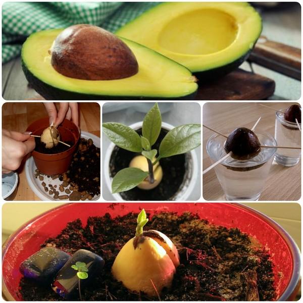 Пошаговая инструкция по выращиванию авокадо из косточки дома