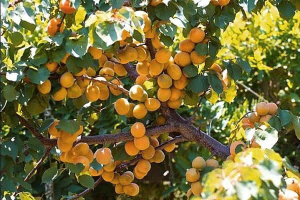 Самоплодный абрикос сорта Лель для дачного участка