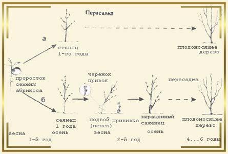 Схема выращивания абрикоса из косточки