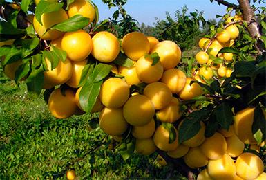 Сочные плоды алычи сорта Мара