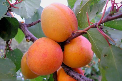 Сорта абрикоса. Ароматный Мелитопольский ранний