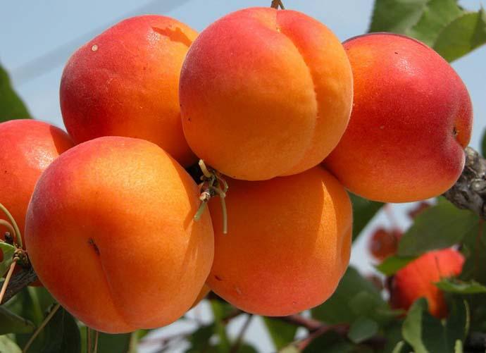 Сорта абрикоса. Долго хранящийся Фаворит