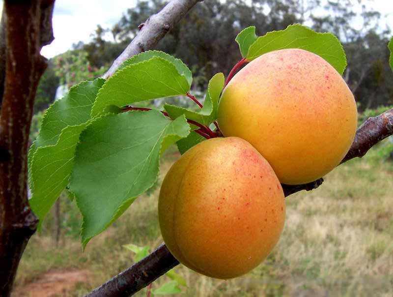 Сорта абрикоса. Сочный Царский