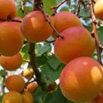 Вкусный абрикос – сорта, их обзоры