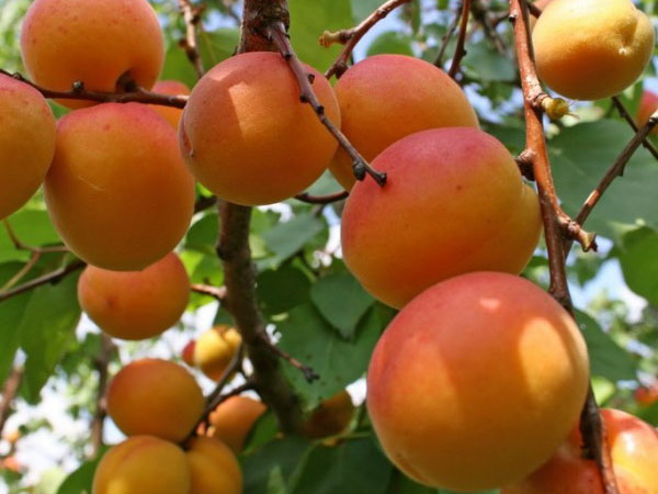 Сорта абрикоса. Среднепоздний Россиянин