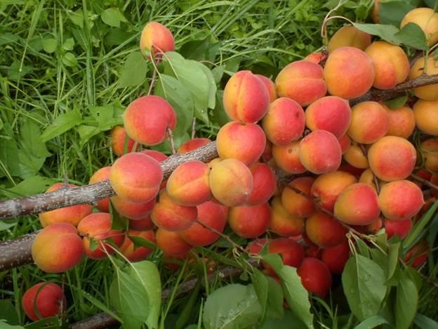Сорта абрикоса. Урожайный Королевский