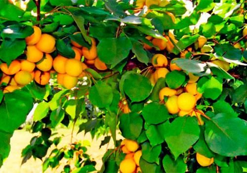 Сорта абрикоса. Урожайный Лель