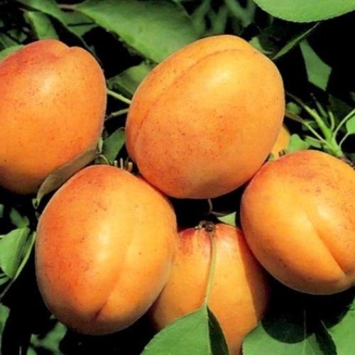 Сорта абрикоса. Высокорослый Триумф