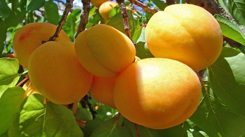 Сорта абрикоса. Высокоурожайный Шалах