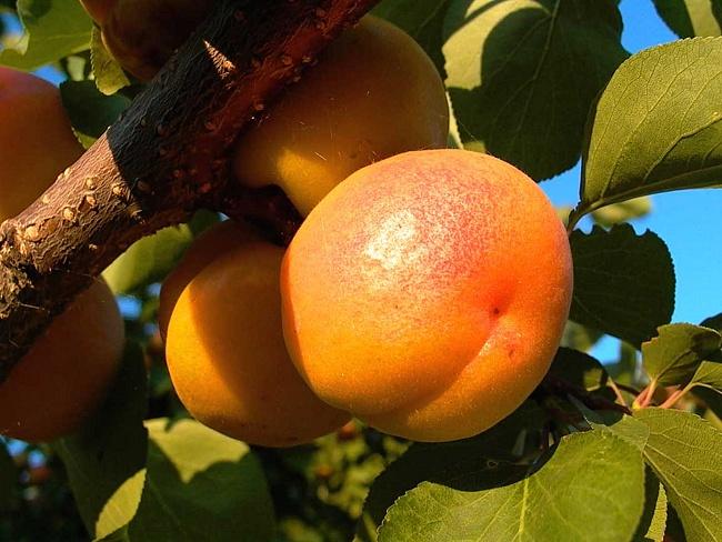Сорта абрикоса. Засухоустойчивый Лескоре