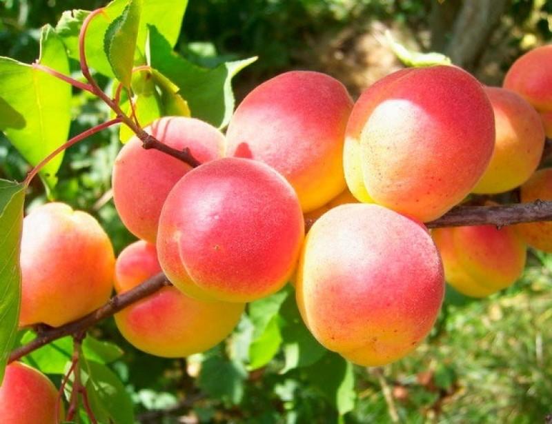 Сорта абрикоса. Зимостойкий Саратовский рубин