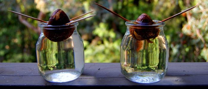 Способ проращивания косточки авокадо в воде