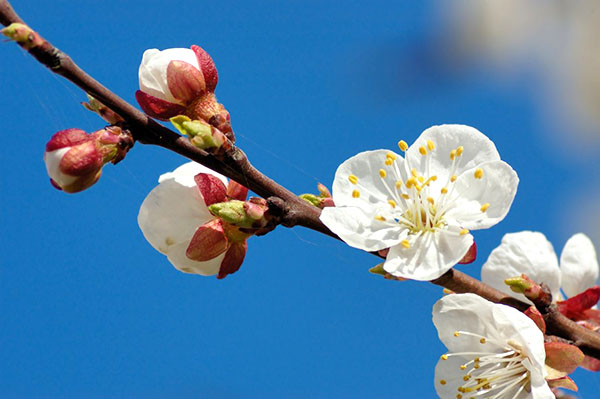 Цветение абрикоса Лель