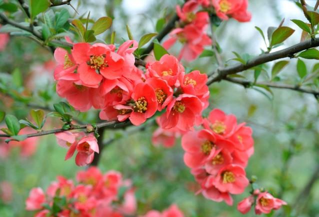 Цветение айвы китайской