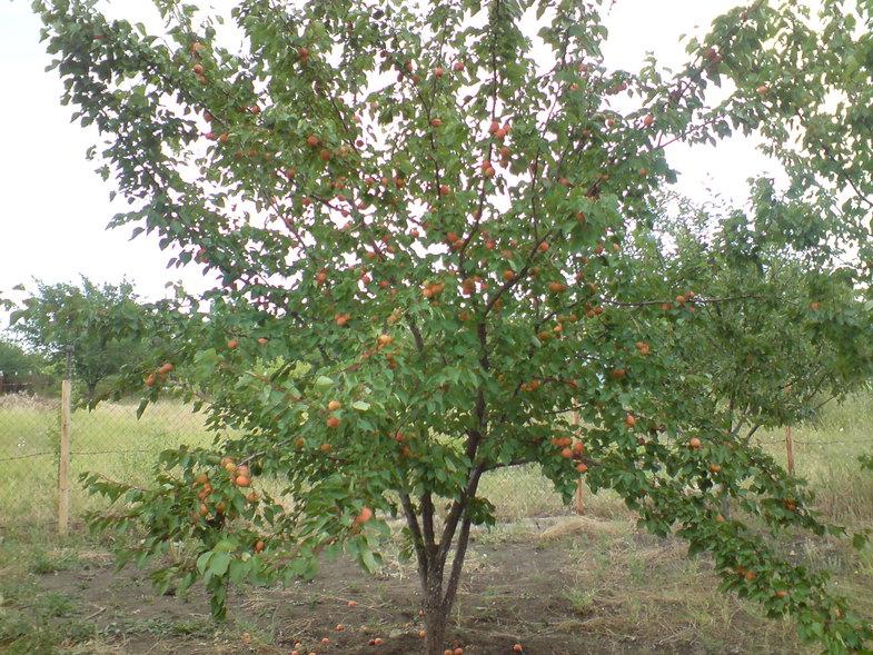 Уход за саженцем абрикоса Лель