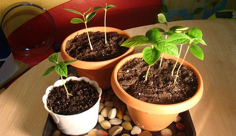 Выращивание абрикоса из косточки в цветочном горшке