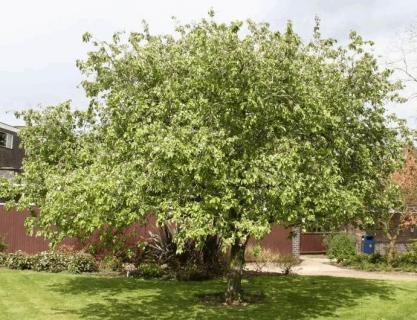 Взрослое дерево айвы выращенное на даче