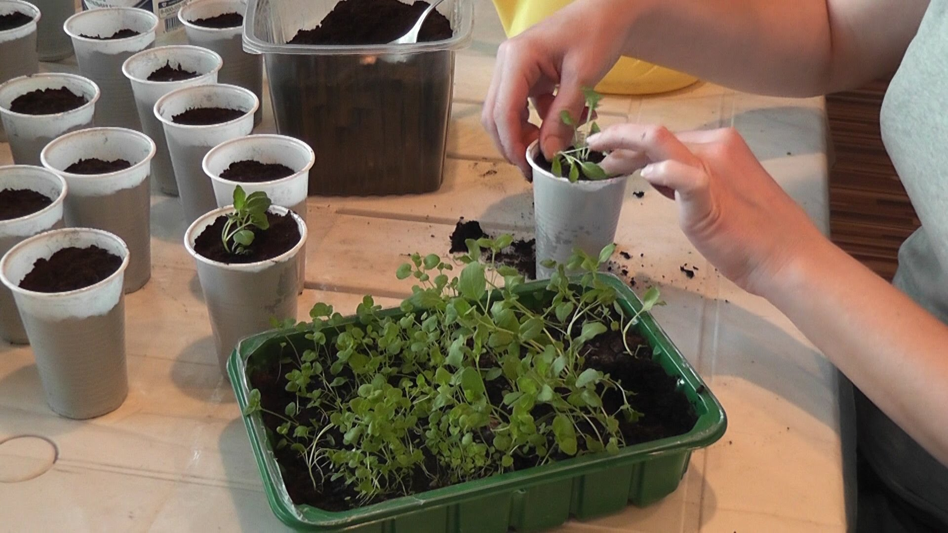 Бергамот посев саженцев растения