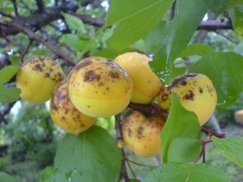 Болезни абрикоса - грибковые, бактериальные и вирусные