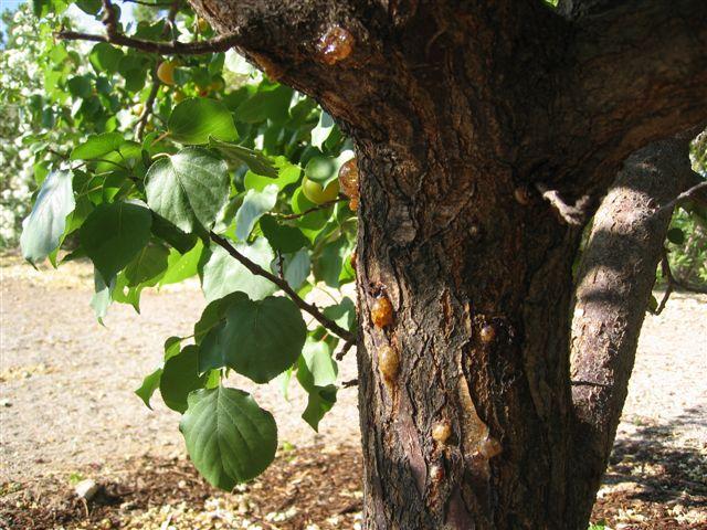 Болезни абрикоса - профилактика и лечение