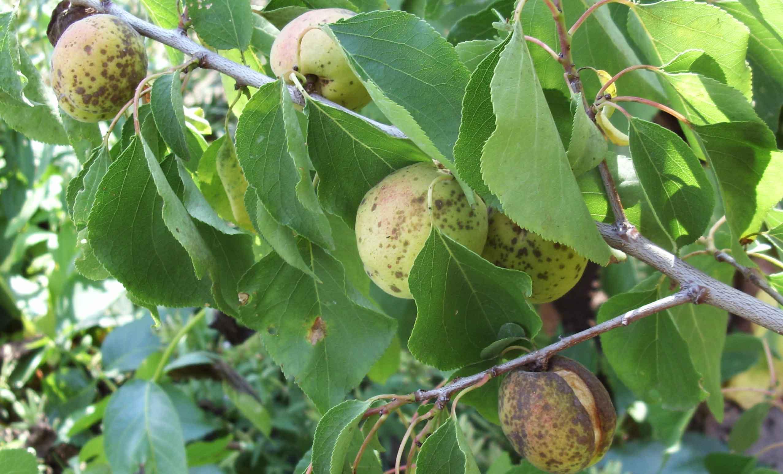 Болезни абрикоса. Плоды абрикоса, зараженные монилезом