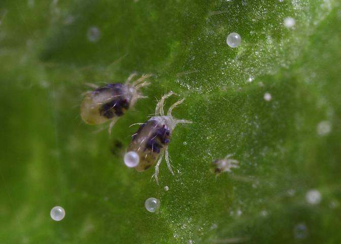 Болезни арбузов паутинный клещ