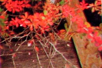 Болезни барбариса усыхание стеблей