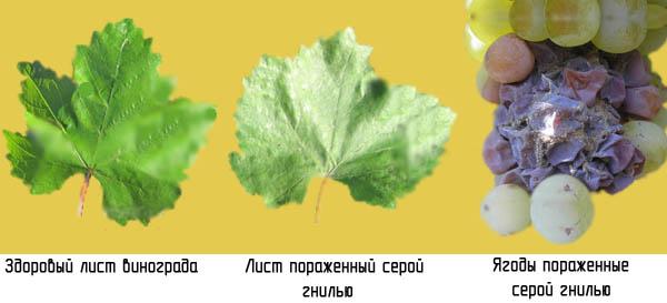 Борьба с грибком на винограде с помощью пищевой соды