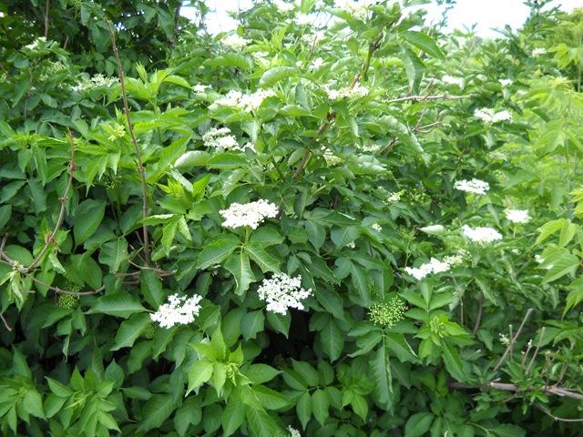 Бузина подробное описание растения