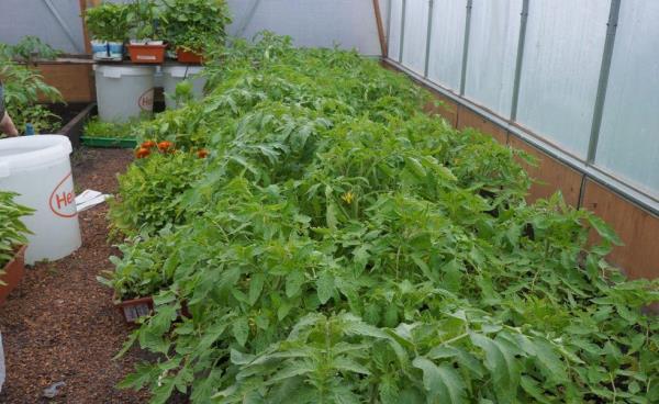 Чем подкормить рассаду помидор чтобы были толстенькие и быстрее росли