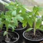 Чем подкормить рассаду помидор чтобы были толстенькие