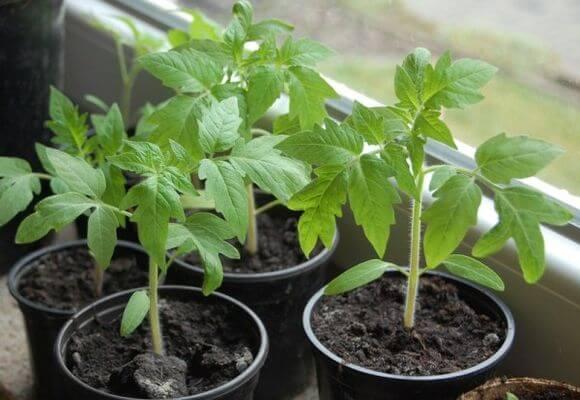 Чем подкормить рассаду помидор чтобы были толстенькие - полезные советы