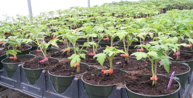 Чем подкормить рассаду помидор чтобы были толстенькие - выбор средства