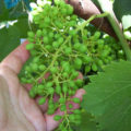 Что делать если виноград горошится
