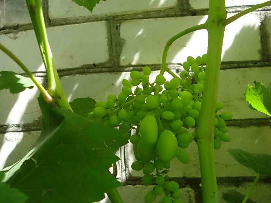 Горошение винограда причина мелкой ягоды