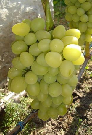 Гроздь винограда аркадия выращенная на дачном участке