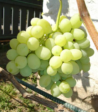 Гроздья винограда сорта Лора