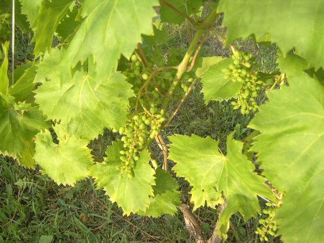Как исправить проблему горошения домашнего винограда
