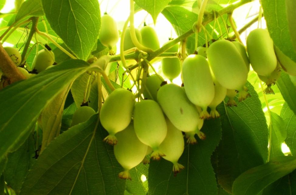 Как плодоносит актинидия дальневосточная