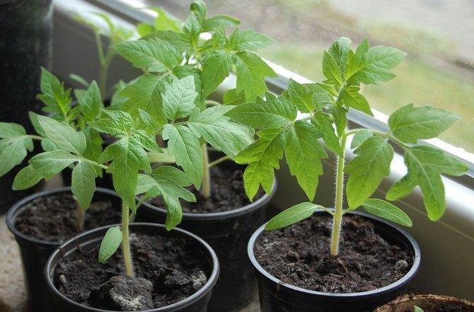 Как подготовить семена помидор к посадке, чтобы получить крепкую рассаду