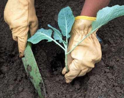 Как поместить рассаду капусты белокочанной в лунку чтобы принялась