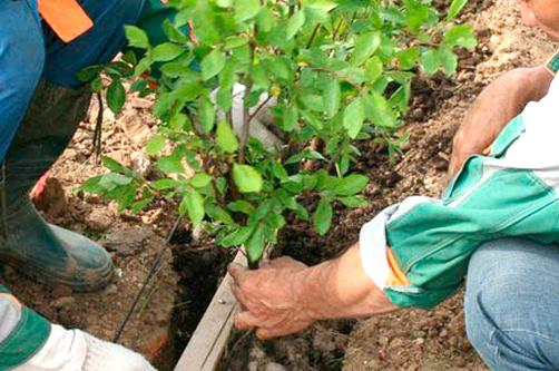 Как посадить барбарис на дачном участке своими руками
