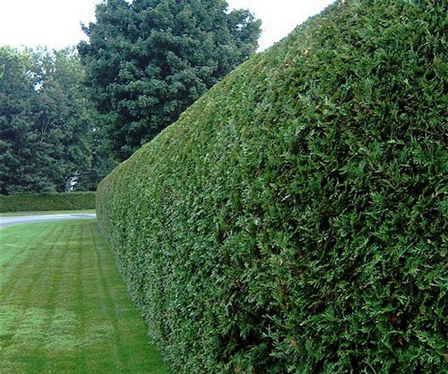 Как постричь живую изгородь из боярышника своими руками
