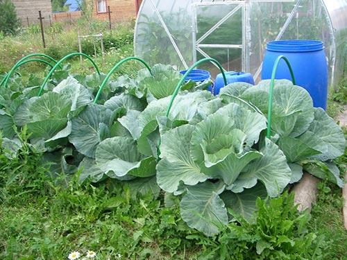 Как правильно поливать капусту белокочанную растущую в открытом грунте