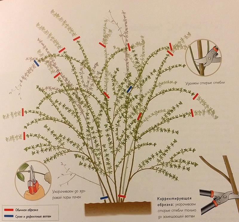 Как правильно провести обрезку кустарника барбариса