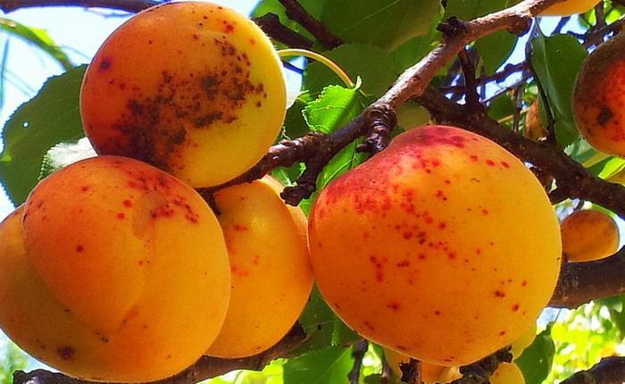 Как распознать кольцевую оспу абрикоса