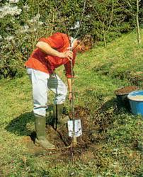 Как самостоятельно пересадить дерево абрикоса